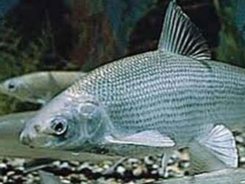 Pesce di lago
