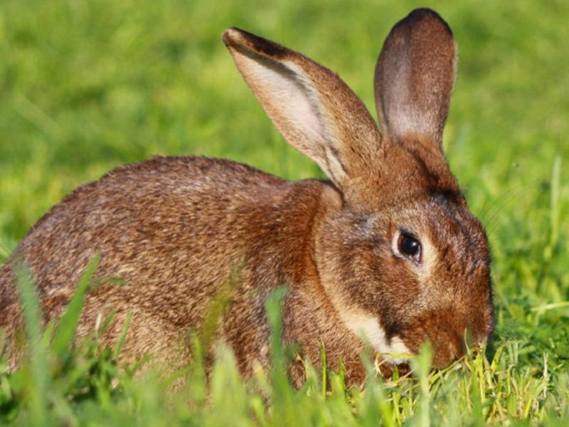 Coniglio Verde Leprino